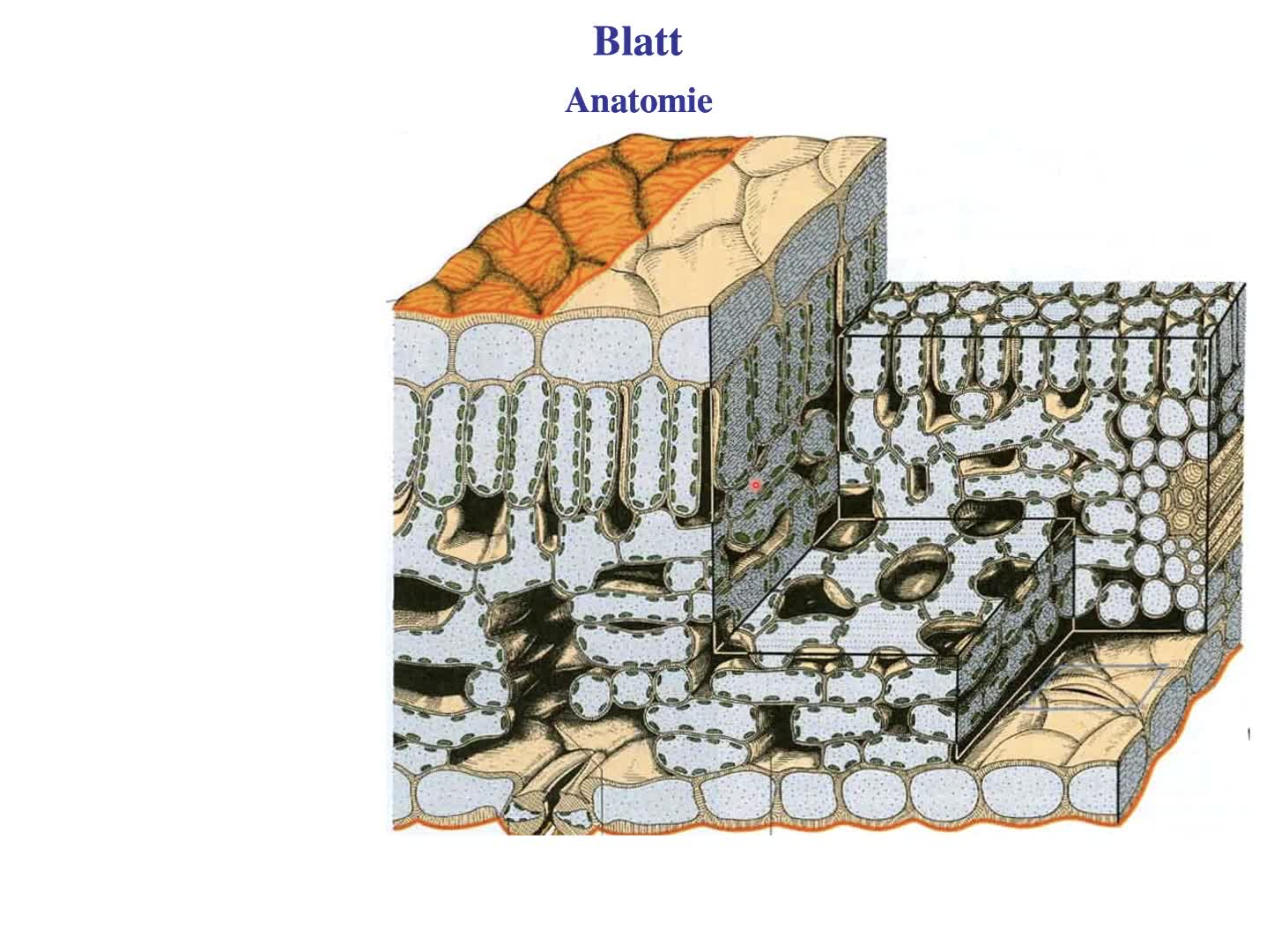 Blatt: Anatomie preview image